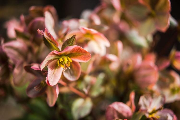 Helleborus blooming Helleborus Abundance Beauty In Nature Blooming Botany Close-up Day Flower Flower Head Fragility Freshness Growth Hellebore Nature No People Outdoors Petal Pink Flowers Plant Spring Spring Flowers