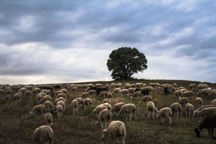 Animal Themes Animals In The Wild Carboneros Cloud - Sky Day Dehesa Guarromán Herd Landscape Large Group Of Animals Linares Nature No People Outdoors Ovejas Ovinocultura Sheep Sheeps Sheep🐑 Sierra Morena Sky Trashumancia TrashumanciaJaén Tree Vilches