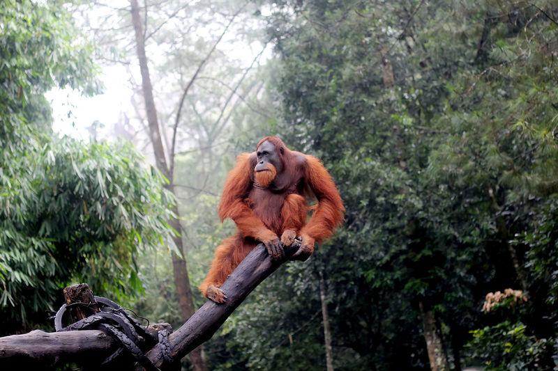 Orangutan in indonesia during rainy season