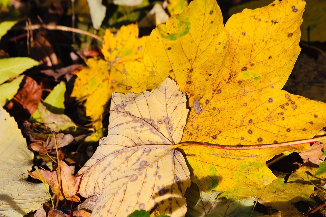 leaf, autumn, plant part, change, yellow, nature, leaves, close-up, day, plant, no people, leaf vein, dry, maple leaf, beauty in nature, high angle view, sunlight, outdoors, orange color, vulnerability, natural condition, fall, autumn collection