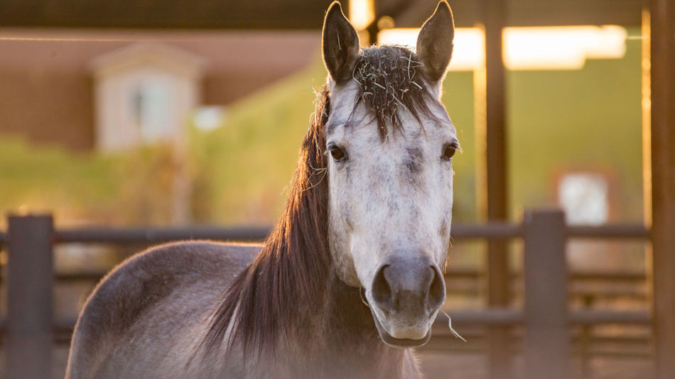 Gray horse with white head standing in stable area during sunset. Scottsdale, Arizona, USA. Horse Life Horses Scottsdale Sunset_collection Veterinarian Animal Corral Equestrian Equestrian Life Equine Equine Photography Golden Hour Horse Horse Photography  Sunset Veterinary