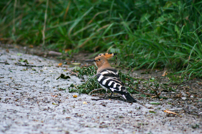 Animal Themes Animals In The Wild Day Grass Hoopoe Hoopoe Bird Nature No People One Animal Outdoors