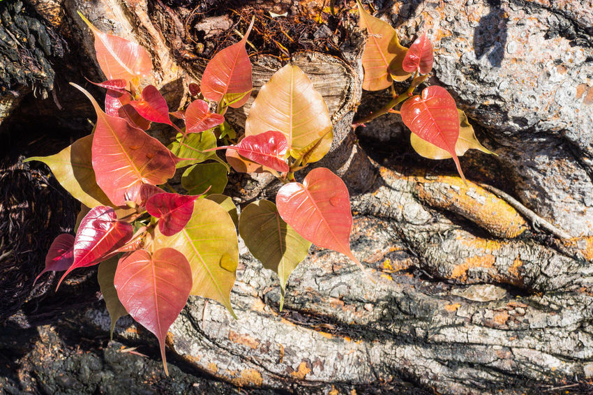 Young leaves of the beautiful and colorful Bodhi tree when exposed to the morning sunlight, Bodhi tree is a symbol that related to many Asian believes. Bodhi Tree Bright Buddha Buddhist Green Leaves🌿 Pink Pipal Red Tree Background Beauty In Nature Blossom Floral Garden Land Leaf Leaves Nature Outdoors Park Peepal Religion Religiosa Yellow
