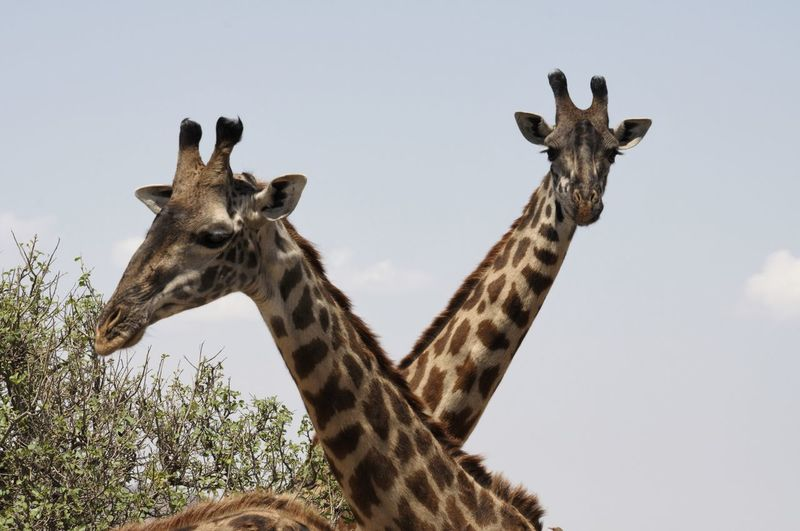 Animal Markings Animal Themes Animal Wildlife Animals In The Wild Close-up Day EyeEmNewHere Giraffe Looking At Camera Low Angle View Mammal Nature No People Outdoors Portrait Safari Animals Sky Standing