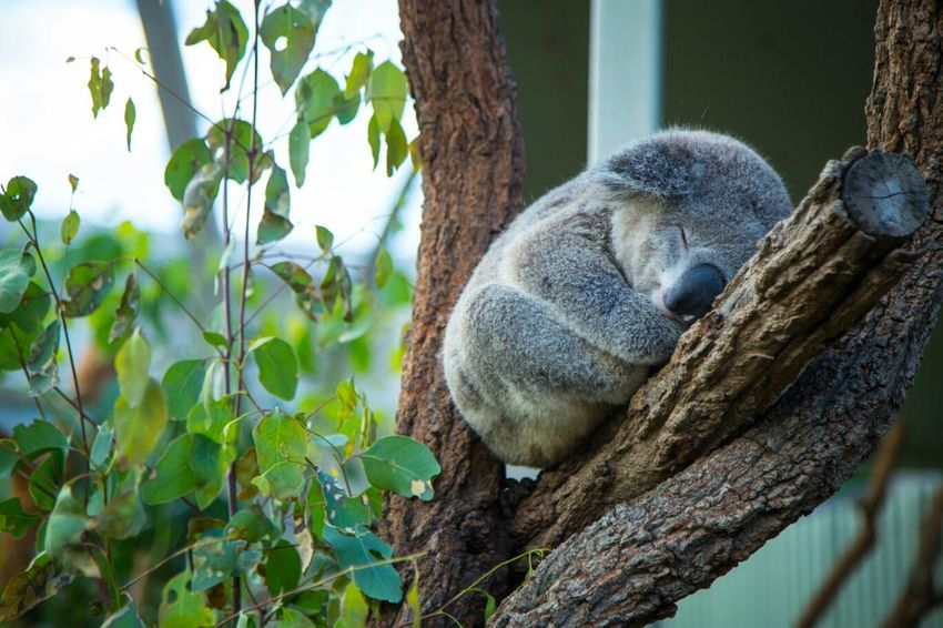 Sometimes, this is exactly how I feel. Nap time is best time. Animals Cute Australia Taking Photos