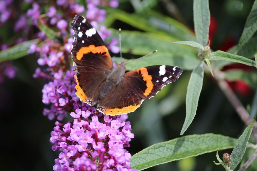 Nature_collection Nature Flower Collection Flower Flowers Butterfly Butterflies EyeEm Nature Lover Red Admiral