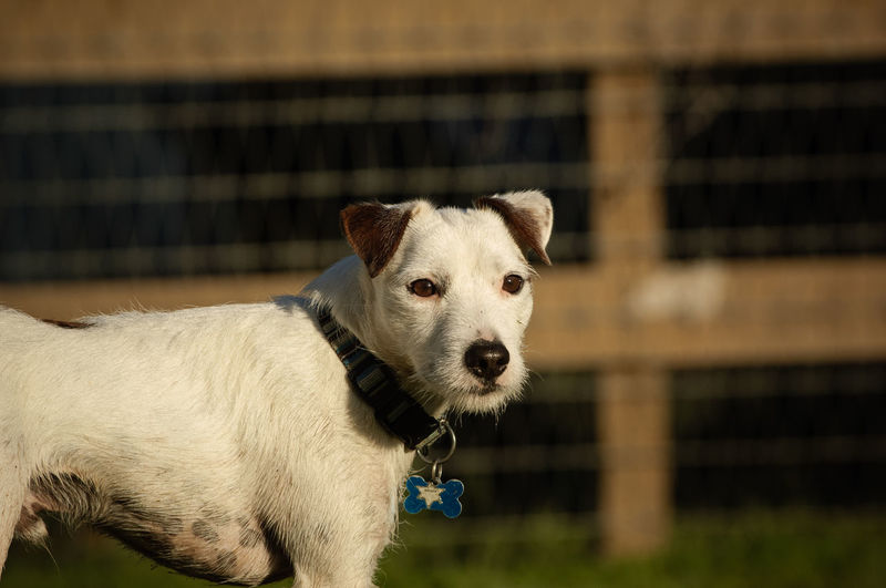 Jack Russell Terrier dog outdoor portrait Farm Jack Russell Jack Russell Terrier Ranch Animal Animal Themes Cage Canine Close-up Day Dog Domestic Animals Fence Looking No People One Animal Outdoors Pets Terrier