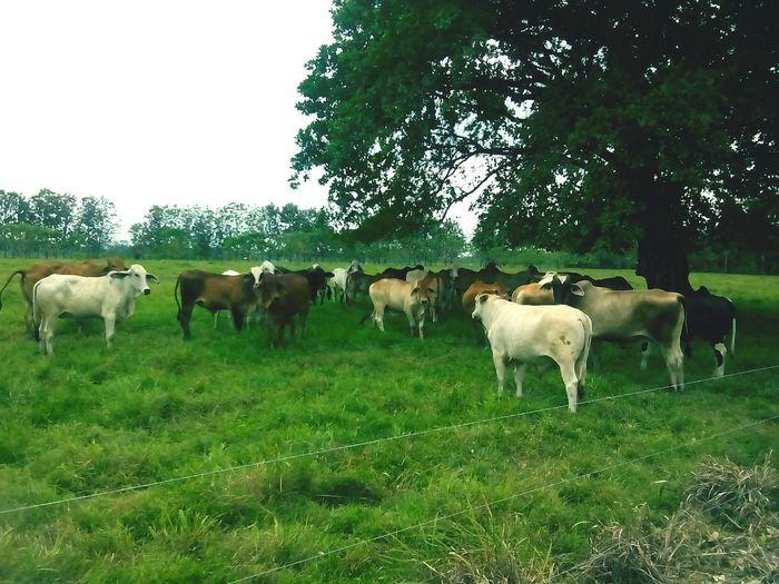Ganado Ganado Vacas Ganado De Vacas Animales Animals Nature Naturaleza Fauna Antioquia Colombia Chigorodo