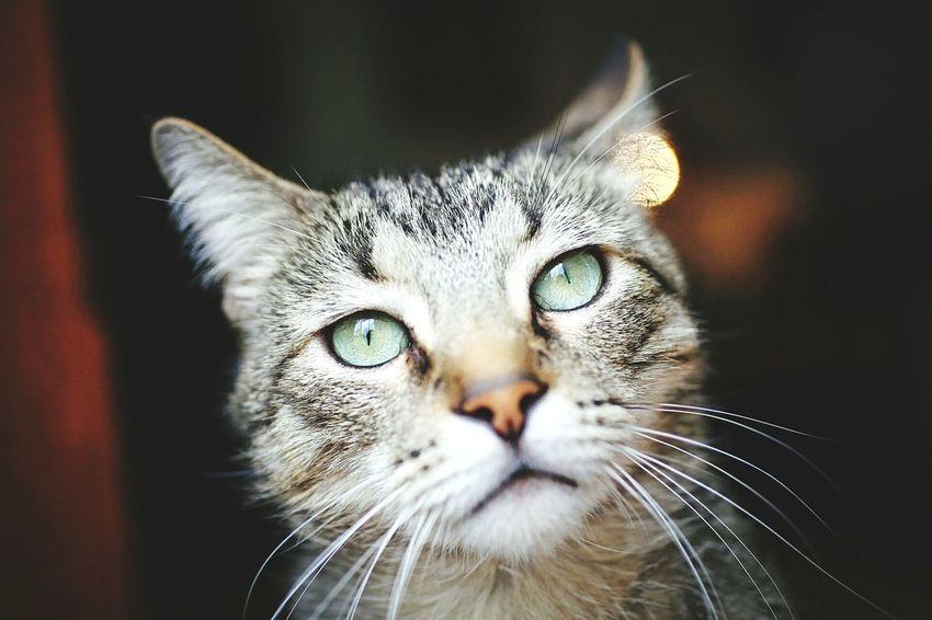 Pet Housecat Feline Cat