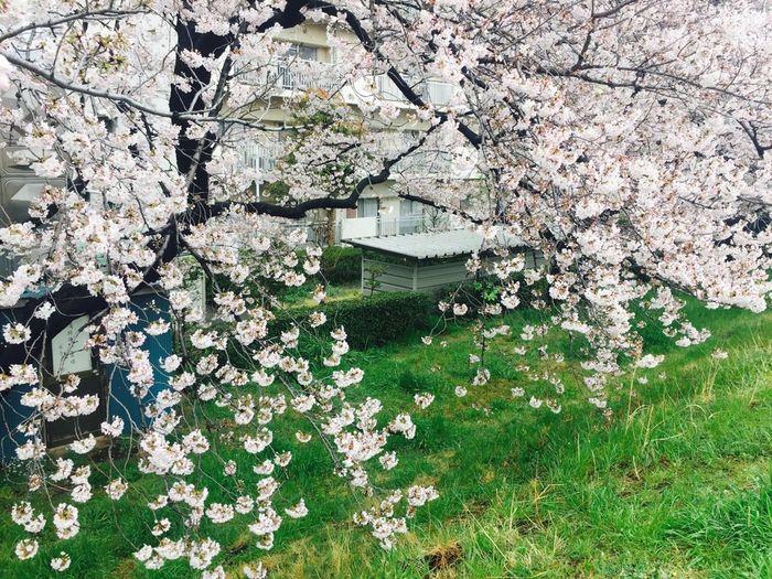 Beauty In Nature Cherryblossom Hanami2017 Japan KAWAII