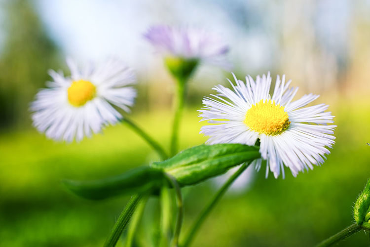 """Beautiful Weeds!"" Spring 2017 Beauty In Nature Blooming Close-up Daisy Daisy Flower Daisy Flower Head Day Flower Flower Head Fragility Freshness Green Color Growth Macro Nature Nikon D810 Nikon Micro Nikkor No People Outdoors Petal Plant White Color Yellow"