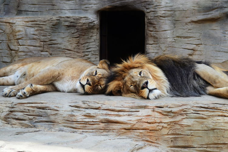Animal Themes Day Lions No People Relaxation Pet Portraits
