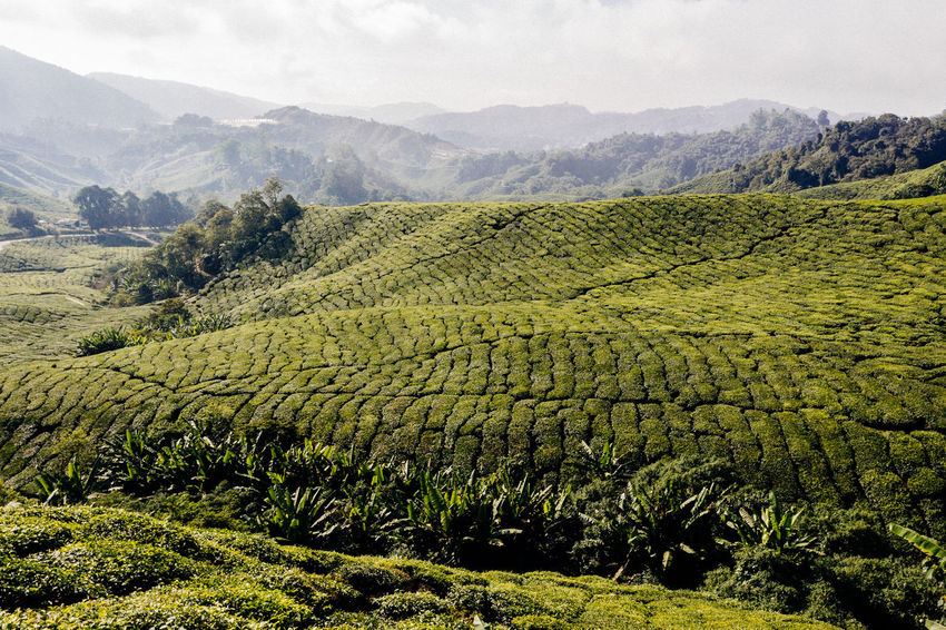 Rolling Landscape Sunlight Agriculture Beauty In Nature Blue Sky Day Environment Field Green Color Growth Land Landscape Mountain Range Nature No People Outdoors Plant Rural Scene Scenics - Nature Sky Tea Crop Tea Plant Tea Plantation  Tea Plantation Terrace Tranquil Scene