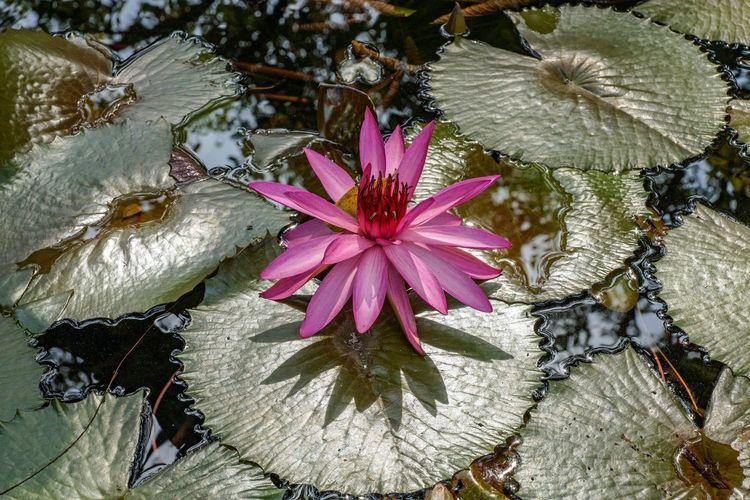 Seerose Beauty