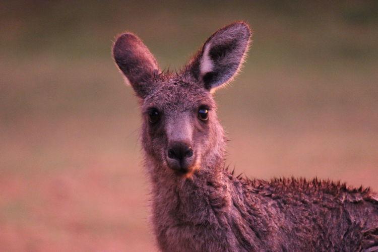 Portrait of kangaroo during sunset