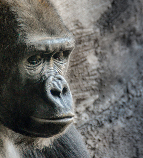Why So Sad? Animal Themes Captivity Eyes Gorilla Is This Life Portrait Sad Quiescent Quiescence Q By Audi Showcase March Animals
