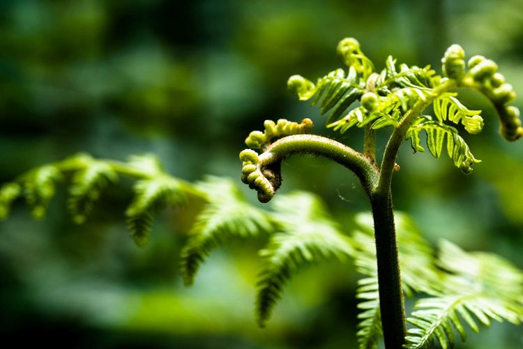 Fernplant Nature On Your Doorstep Nature Photography Beauty In Nature Beginnings Bokeh Bokeh Photography Close-up Day Fern Focus On Foreground Fragility Freshness Green Color Growth Leaf Nature No People Outdoors Plant Plant Part Selective Focus Tranquility Tree Vulnerability