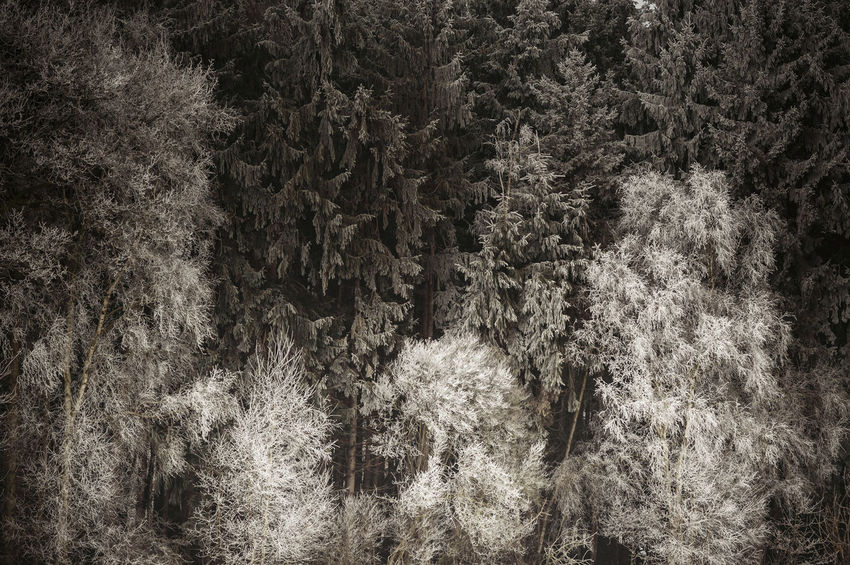 Group of trees with hoarfrost Cold Forest Frost Hoar Hoarfrost Nature Rime Season  Tree Water Winter Wood
