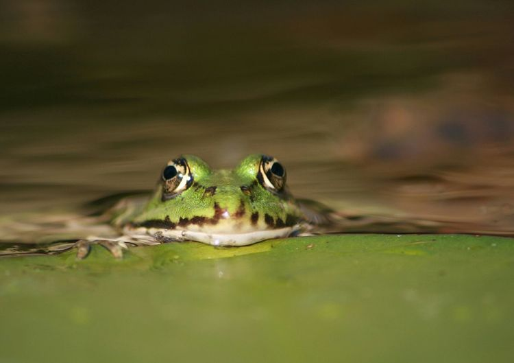 Frosch Frog Nature Animal Animal Photography Nature Photography Animals Tierwelt Photos Photo No People Nature_collection Beautiful Nature Nature On Your Doorstep Naturephotography Urban Spring Fever Frogs Fairytale  Frogprince Froggy Silence Momentariness Peaceful Peace Moment Pet Portraits