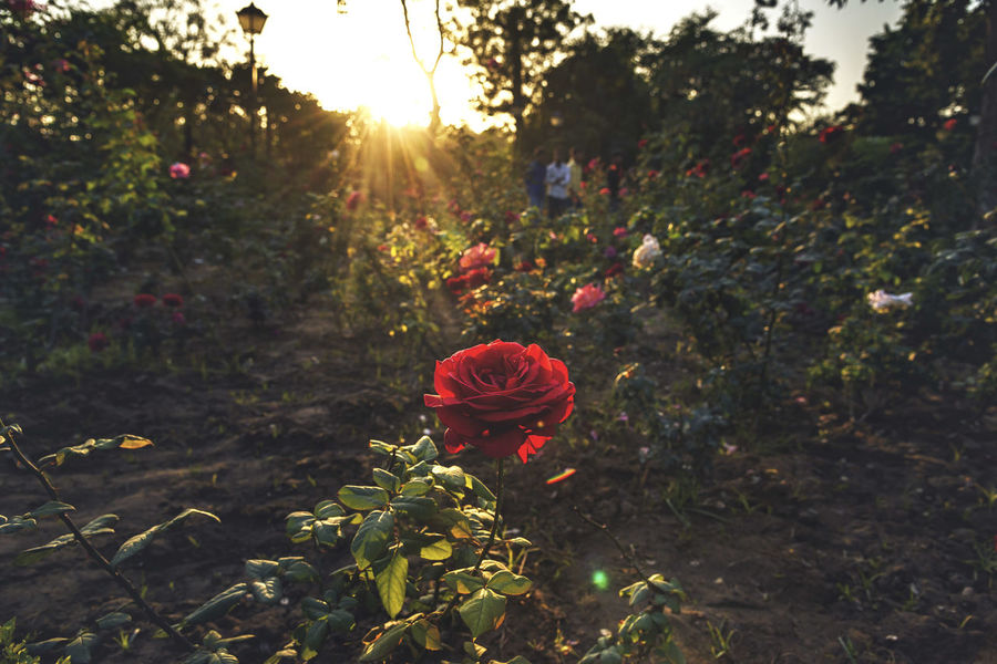 Shine On Flare Ray Rays Of Light Rose - Flower Flower Nature Plant Growth No People Red Sunlight Poppy Outdoors Summer Tree Flower Head Freshness Sunset Day Beauty In Nature Rural Scene Sky