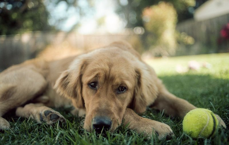 35mm Film Canine Dog One Animal Animal Animal Themes Relaxation Domestic Retriever No People Day Looking At Camera Lying Down Focus On Foreground