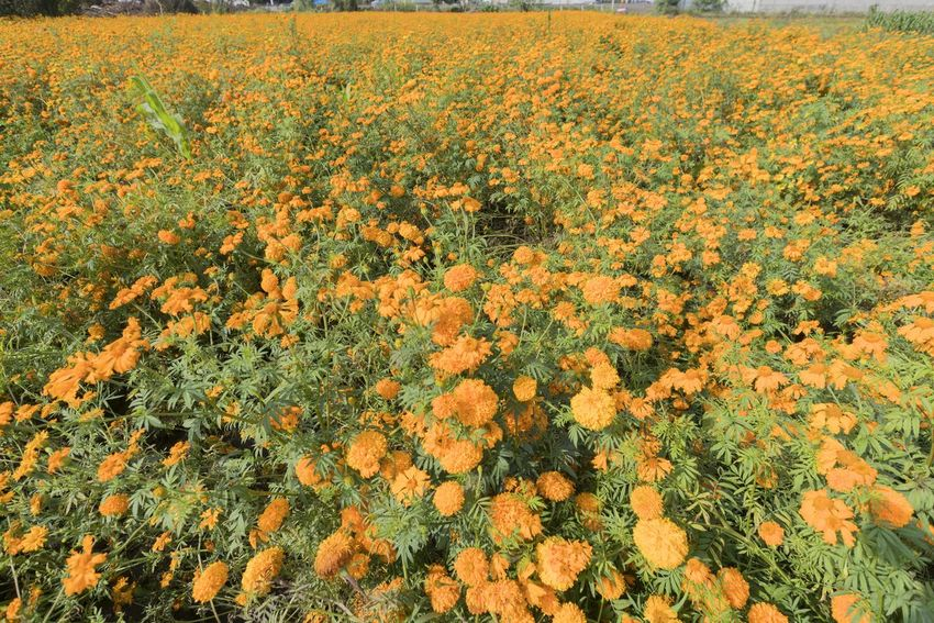 General view of a field covered with Marigold flowers (Tagetes Erecta). These flowers are essential for the celebration of the Night of the Dead, that is why they are cultivated in large grounds on the outskirts of cities. Tagetes Erecta Marigold Flower Beauty In Nature Growth Plant Flowering Plant Field Land Freshness Fragility Abundance Vulnerability  Landscape Tranquility Agriculture Yellow No People Nature Tranquil Scene Day Scenics - Nature Flower Head Outdoors Springtime Flowerbed