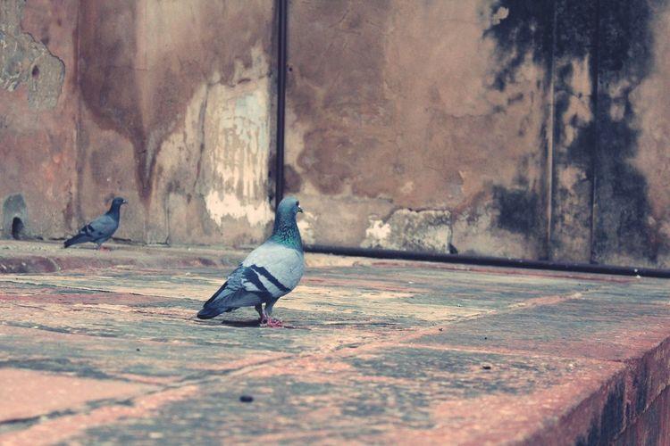 Bird No People Kabutar Kabutarkhana Outdoors Day Artkendra Photoforsale India Eyeemphotography Eyeemvision
