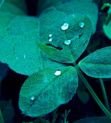 Beauty In Nature Close-up Cloverleaf Drop Fragility Freshness Green Color Growth Leaf Lucky Nature No People Outdoors Plant Water Wet