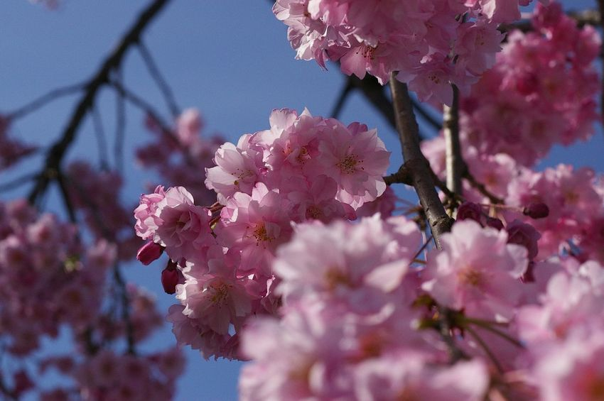 Cherry Blossoms Flowers Nature