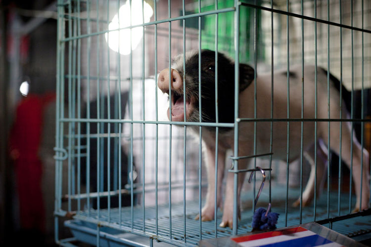 Close-up of piglet in cage