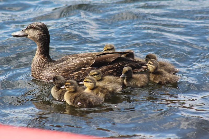 We are family Animal Themes Animals In The Wild Water Animal Wildlife Group Of Animals Animal Young Animal Young Bird Swimming Vertebrate Bird Lake Animal Family Nature Duckling Duck