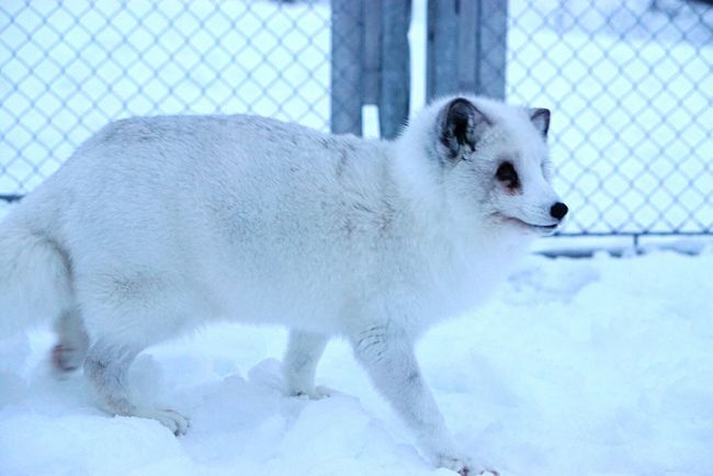"""I'm not doing anything sneaky; no no, not me"" - the sly fox White Fox Sneaky Look Sly Sneaky Plotting White Snowcovered All Fours Pacing Cute Adorable Fox Animal Winter White Fur Close-up - Traveling in Narvik , Norway"