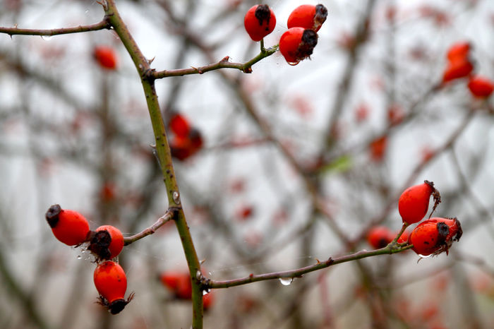 Beauty In Nature Close-up Cold Temperature Droplets Focus On Foreground Hagebutten Nature Outdoors Red Rose Hip