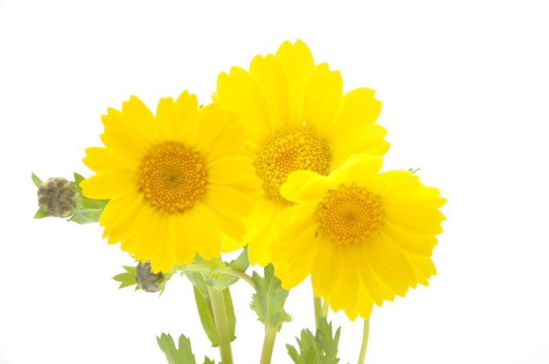 Golden Daisy Bush Beauty In Nature Bunch Of Flowers Close-up Cut Out Flower Flower Arrangement Flowering Plant Fragility Freshness Growth Inflorescence Nature No People Petal Plant Pollen Studio Shot Vulnerability  White Background Yellow