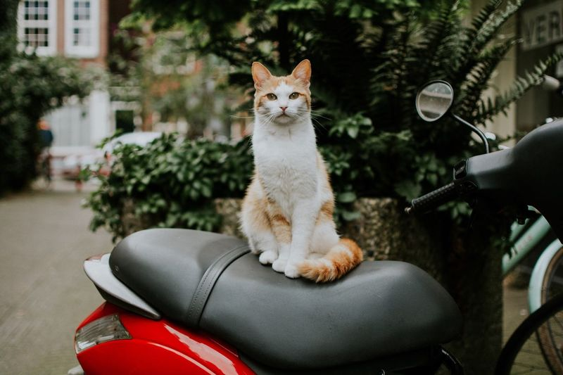 Portrait Of Ginger Cat Sitting On Motor Scooter