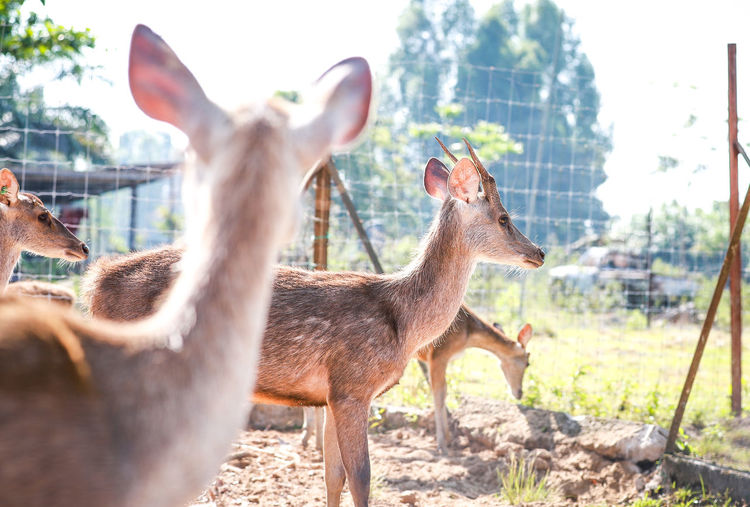 Deer on Farm Deer Deer Park Animal Animal Themes Group Of Animals Mammal Animal Wildlife Vertebrate Domestic Animals Animals In The Wild Day Nature No People Field Two Animals Standing Zoo Livestock Sunlight Focus On Foreground Herbivorous Outdoors Animal Head  Fawn