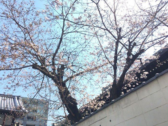 Kyoto Sakura 2017 Kyoto,japan Kyoto Sakura Cherry Blossoms Kyoto Temple Kyoto City Kyoto Spling