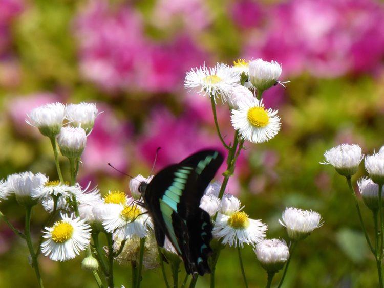 アゲハ蝶 Tadda Community Flower アゲハ蝶