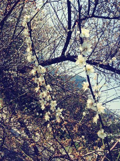 梅花,越冷越開花 Friends Cold Winter ❄⛄ Beutiful  梅 花