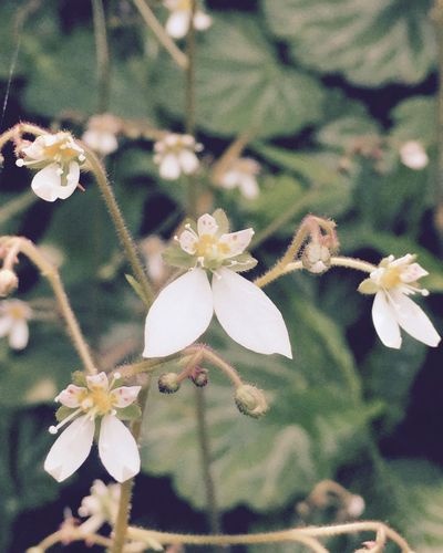 Strawberry Gerenium Nature Garden IPhoneography Flower Japan Blossom Countryside ユキノシタ 花 自然 庭 田舎暮らし 里山