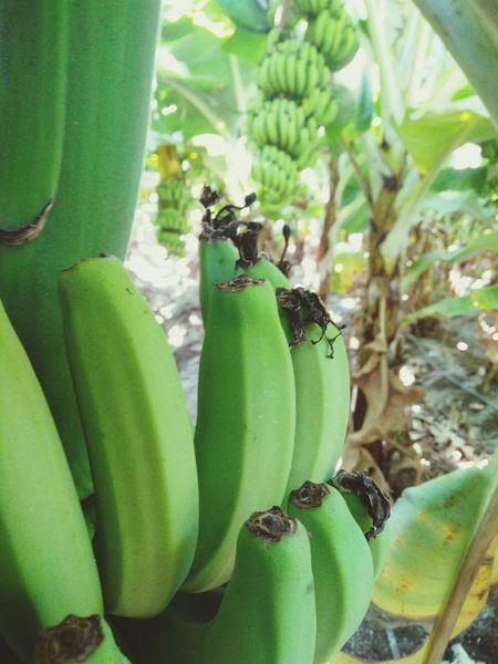 Banana Banana Tree Fields Of Green Banana Fruit Investing In Quality Of Life
