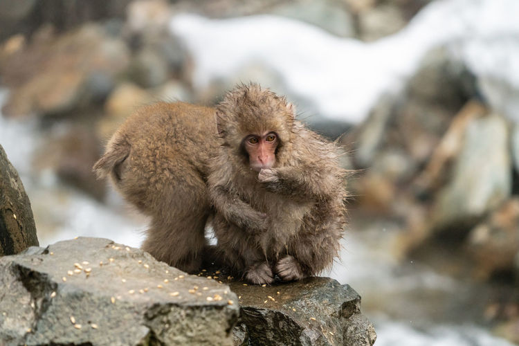 Animal Wildlife Primate Animals In The Wild Mammal Japanese Macaque Rock Rock - Object Solid Cold Temperature Vertebrate One Animal Winter Day Nature People Outdoors Focus On Foreground Baboon