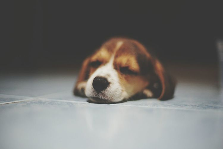 Dog Zzzzzzz Dog Pets One Animal Animal Animal Themes No People Lying Down Puppy Close-up Beagle Mammal Lifestyles