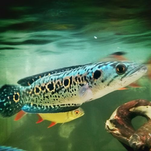 My.all.time.pet. Channa Pleurophalma Underwater Water Fish Animal Themes Outdoors Channa Pleurophalma Swimming Pet Portraits