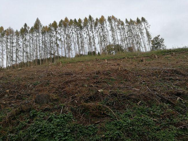 Das Baum Sterben geht weiter Baum Bäume Baum Sterben Bäume Sterben Agriculture Flower Tree Sky Grass