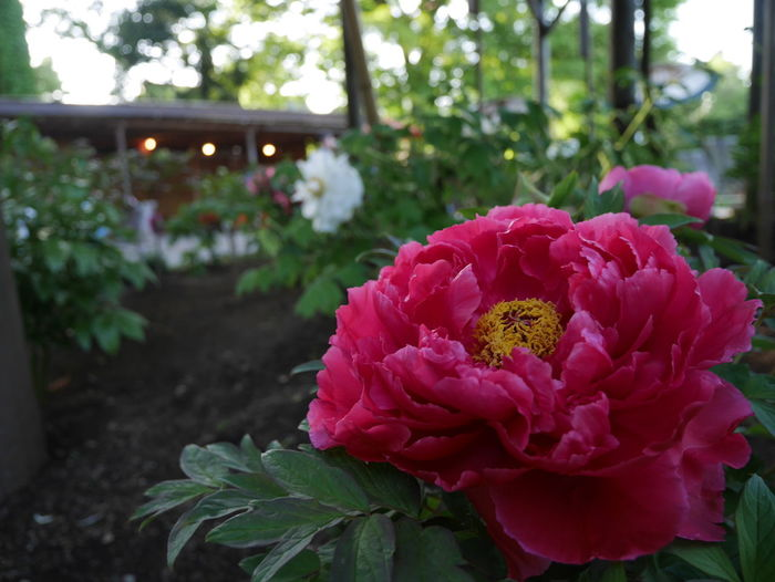 Peony  Paeonia Suffruticosa Beauty In Nature Close-up Flower Flower Head Growth Leaf Nature No People Pink Color Plant