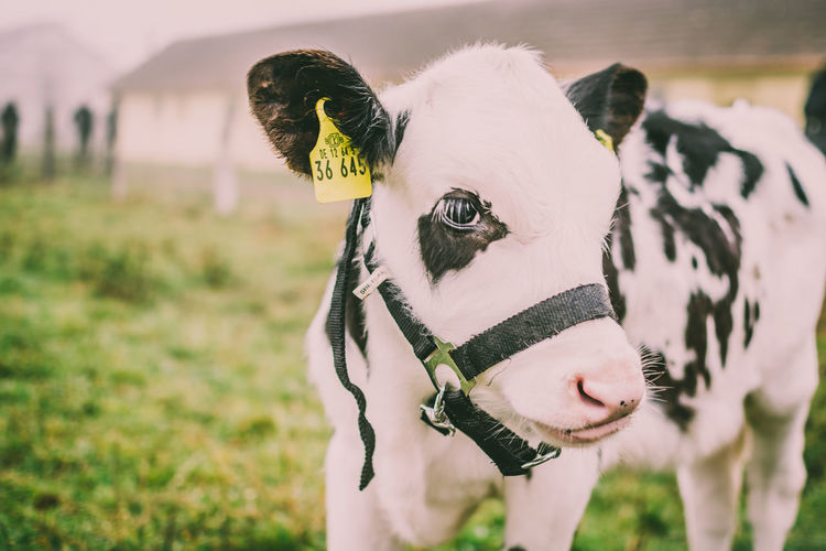 Domestic Animals Animal Mammal Domestic Animal Themes Pets Focus On Foreground One Animal Livestock Land Vertebrate Portrait Nature Day Field Close-up Looking At Camera Grass No People Animal Body Part Outdoors Animal Head  Herbivorous Sanctuary