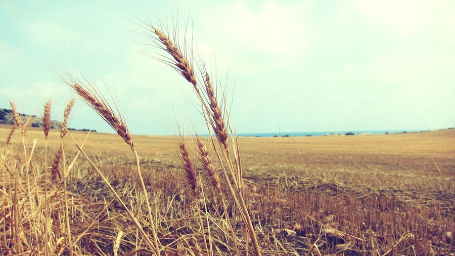 @Cyprus Growth Cereal Plant Wheat Clear Sky Landscape Close-up Non-urban Scene Nature Cyprus Nature Wheat Field Horizon Explore Nature First Eyeem Photo Day Photography Stuck In A Moment Wheatfield