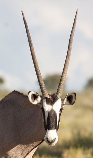 Portrait of oryx against sky