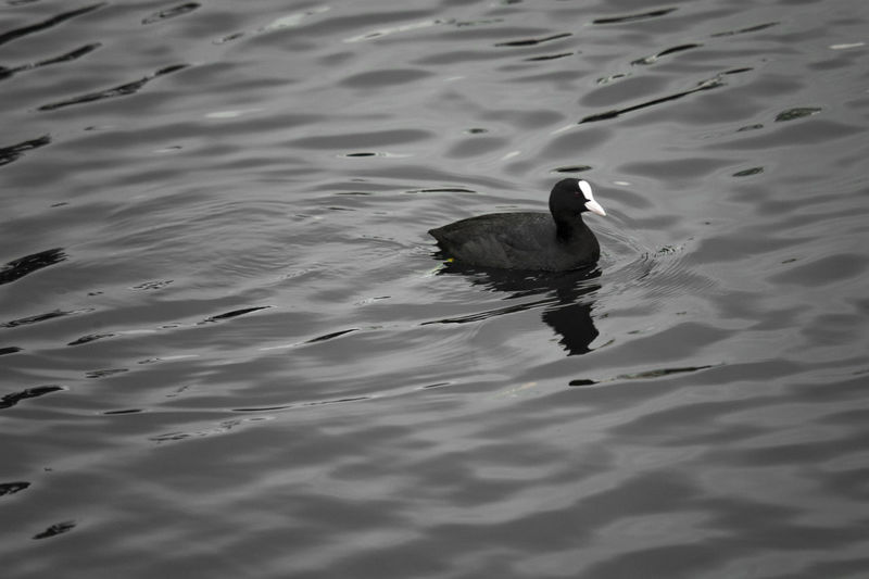 Animal Themes Animal Wildlife Animals In The Wild Bird Day High Angle View Lake Nature No People One Animal Outdoors Swimming Water Water Bird Waterfront